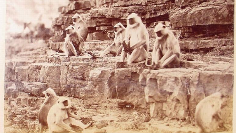 Singes d'Onkarjee, 1883. Album « Vues de l'Inde ». Épreuve à l'albumine. Bhopal et Omkareshwar (Madhya Pradesh), Inde. Don du Fonds fiduciaire de bienfaisance Louise Hawley Stone