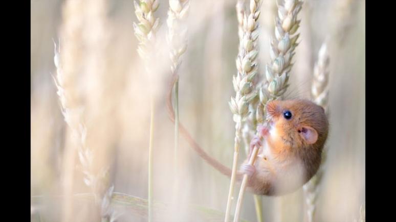 Harvest gold © Etienne Francey (Switzerland)