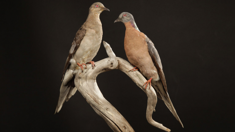 A pair of passenger pigeon specimens mounted on a branch, the bright male on the left, the duller colored female on the right