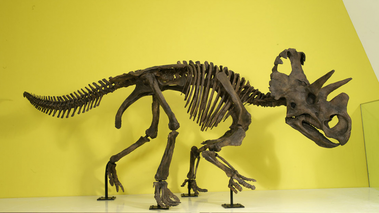 A close-up of the mounted model of the new dinosaur.