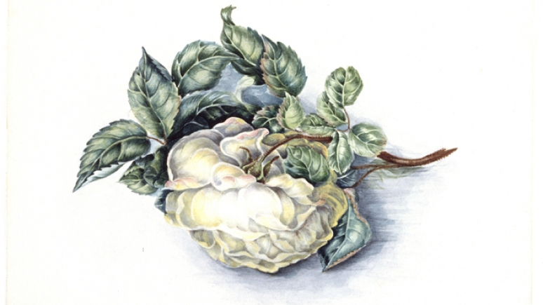 Watercolour painting of a rose blossom