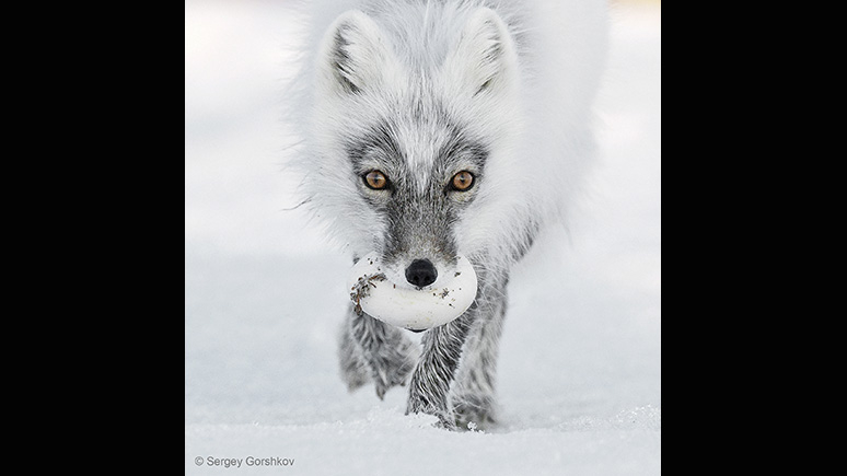 A wolf in a snowy landscape carrying an egg in its mouth