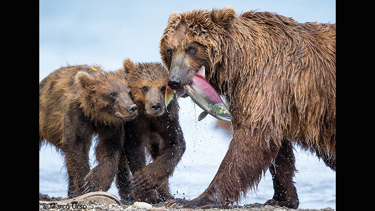 A mother bear brings a fish to her two cubs.