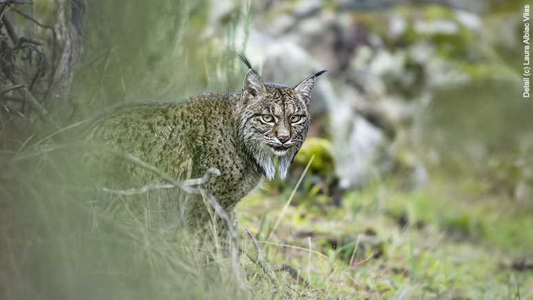A lynx looking out from behind some tall grass