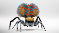 Peacock Spider fanned