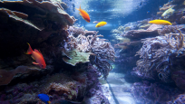 A myriad fishes inhabit the live coral reef acquarium.