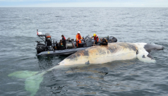 Carcass of right whale floating in ocean, researchers on large dinghy