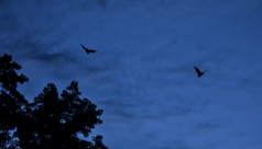 two little brown bats fly in a twilit sky over Rouge Park during the 2012 Ontario BioBlitz. Photo by Stacey Lee Kerr