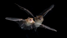 A tube-nosed bat (Murina cyclotis) in flight. Photo by Vincent Luk