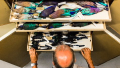 Brad Millen examines one of countless drawers full of bird specimens from across the world. Photo by Filip Szafirowski
