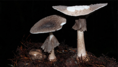A photo of two Amanita specimens from the Araca River, Amazonia, Brazil