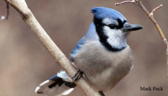 An adult blue jay rests on a branch in the winter season in Ontario. Photo by Mark Peck