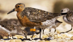 The orange flag on this Red Knot's leg indicates it was banded in Argentina.