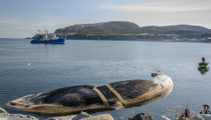 A beached blue whale on the Newfoundland coast, strapped up and ready to be  transported to Woody Point for recovery. Photo by Jacqueline C. Waters