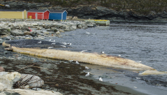 A blue whale carcass lies upside down in the water near a rocky shoreline.