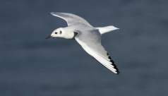 Bonaparte's Gull flying over the ocean