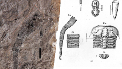 Illustration of fossils collected in 1897 from Cambrian rocks on Mount Stephen, British Columbia