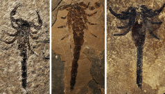 Photo collage of three scorpion fossils.