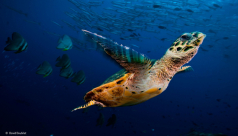 """""""Turtle Flight"""" is David Doubilet's finalist photograph in the 2015 Wildlife Photographer of the Year Exhibition at the ROM."""