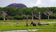 photo of a an elephant standing in a wetland in Yala National Park in Sri Lanka with jungle and a mountain in the background