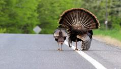 Two wild turkeys walking down a road.