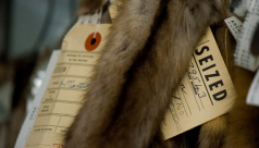 Tags on confiscated furs within the ROM Collections. Photo by Matt Jenkins