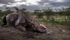 Photo of Rhino with it's horn removed.