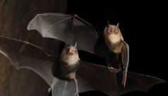 Photo of two flying moustached bats