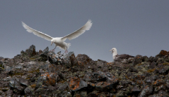 A large white bird (a giant petrel) comes in for a landing on a rough, rocky ridge; another such bird sits nearby.