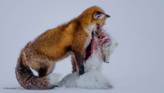 A red fox carries the smaller body of an arctic fox in its mouth that it has hunted and killed. The 2015 winning photo by Canadian Don Gutoski of the Wildlife Photographer of the Year contest