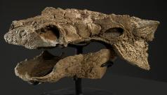 Photo of a dinosaur skull