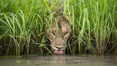 Une lionne s'abreuvant à une source à travers l'herbe