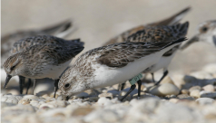 Photo of Sanderlings on pebble beach.