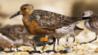 Conservation of Migratory Shorebirds