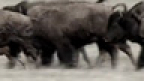 Find the Baby Bison Contest