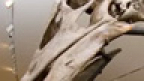 Iconic: Barosaurus